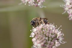 Polinización - abeja en la floración Imagen de archivo libre de regalías