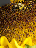 Polinización - alimentación apícola Fotos de archivo