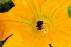 Polinización amarilla del abejorro del calabacín del tuétano de la flor del calabacín Imagen de archivo libre de regalías