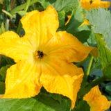 Polinización amarilla del abejorro del calabacín del tuétano de la flor del calabacín Fotografía de archivo libre de regalías
