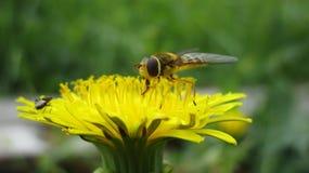 Polinización amarilla del verano de la abeja de la flor del diente de león imagen de archivo libre de regalías