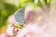 Polinización azul de la mariposa del argiolus de Celastrina del acebo Imagen de archivo