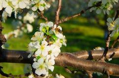 Polinización de árboles florecientes Fotos de archivo libres de regalías