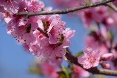 Polinización de flores por el melocotón de las abejas Fotos de archivo