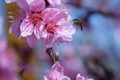 Polinización de flores por el melocotón de las abejas Foto de archivo