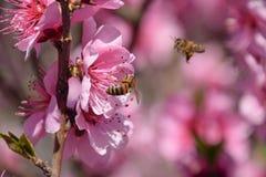Polinización de flores por el melocotón de las abejas Imágenes de archivo libres de regalías