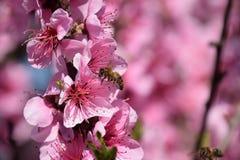 Polinización de flores por el melocotón de las abejas Imagen de archivo