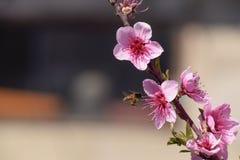 Polinización de flores por el melocotón de las abejas Imagen de archivo libre de regalías