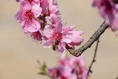 Polinización de flores por el melocotón de las abejas Fotos de archivo libres de regalías