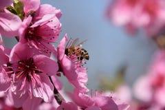 Polinización de flores por el melocotón de las abejas Fotografía de archivo