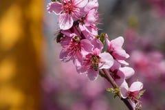 Polinización de flores por el melocotón de las abejas Fotografía de archivo libre de regalías