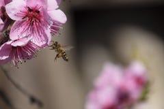 Polinización de flores por el melocotón de las abejas Foto de archivo libre de regalías