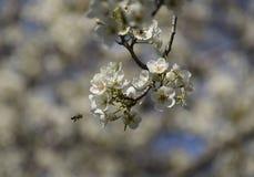 Polinización de flores por las peras de las abejas Foto de archivo