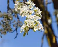 Polinización de flores por las peras de las abejas Foto de archivo libre de regalías