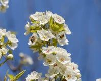 Polinización de flores por las peras de las abejas Fotos de archivo