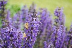 Polinización de la abeja Imagenes de archivo