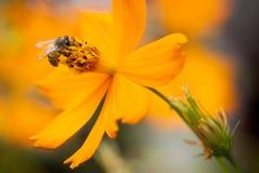 Polinización de la abeja Fotos de archivo