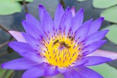 Polinización de la abeja Fotografía de archivo libre de regalías
