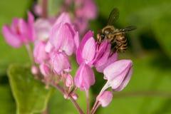 Polinización de la abeja Fotografía de archivo
