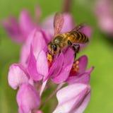 Polinización de la abeja imagen de archivo
