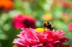 Polinización de la abeja Foto de archivo libre de regalías