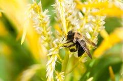 Polinización de la abeja de carpintero Imagen de archivo