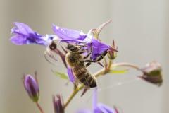 Polinización de la abeja de la miel Fotos de archivo libres de regalías