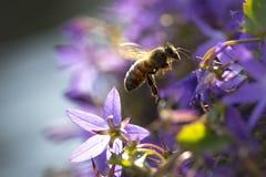Polinización de la abeja de la miel Foto de archivo libre de regalías