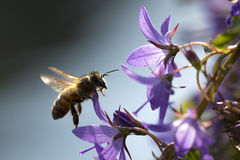 Polinización de la abeja de la miel Imagenes de archivo