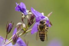 Polinización de la abeja de la miel Fotografía de archivo libre de regalías