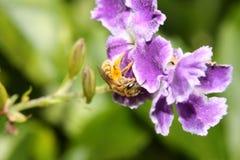Polinización de la abeja del bebé Imágenes de archivo libres de regalías