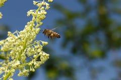 Polinización de la abeja del vuelo de la flor en el cielo azul Foto de archivo libre de regalías