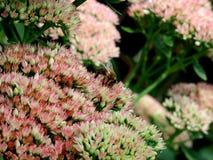 Polinización de la abeja - una abeja viaja en una montaña de flores verdes y poner crema rosados que poliniza Fotos de archivo libres de regalías