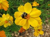 Polinización de la flor amarilla Fotografía de archivo