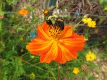 Polinización de la flor anaranjada Imagen de archivo libre de regalías