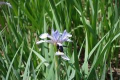 Polinización de la flor del iris por la abeja del carperter Imagenes de archivo