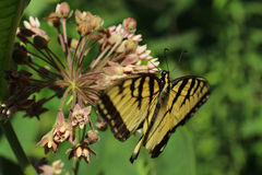 Polinización de la mariposa de Swallowtail del tigre Foto de archivo libre de regalías