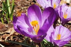 Polinización de las abejas de la miel en el primer de la flor de la primavera del azafrán Foto de archivo