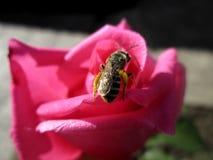 Polinización de rosas Foto de archivo