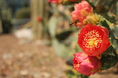 Polinización de un cactus Imagenes de archivo