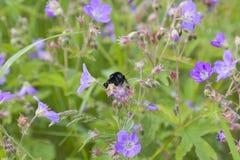 Polinización del abejorro Imagen de archivo