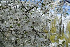 Polinización del ciruelo floreciente en primavera Fotografía de archivo libre de regalías