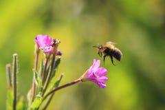 Polinización del insecto de la abeja de la miel Fotografía de archivo