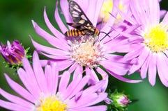 Polinización del insecto de la naturaleza foto de archivo libre de regalías