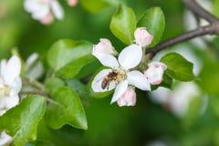 Polinización del manzano Fotos de archivo libres de regalías