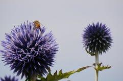 Polinización púrpura del cardo de globo Foto de archivo libre de regalías