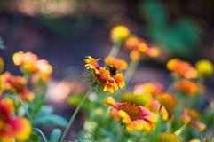 Polinización por Gaillardia colorido de las flores de las abejas en el jardín Imagen de archivo libre de regalías