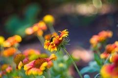 Polinización por Gaillardia colorido de las flores de las abejas en el jardín Fotografía de archivo