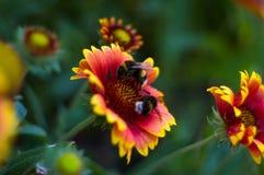Polinización por Gaillardia colorido de las flores de las abejas en el jardín Imagenes de archivo