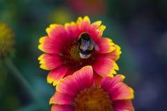 Polinización por Gaillardia colorido de las flores de las abejas en el jardín Imagen de archivo